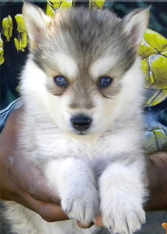 Gerberian Shepsky Wolf Dog Puppy Wolf Dog Cute Dogs