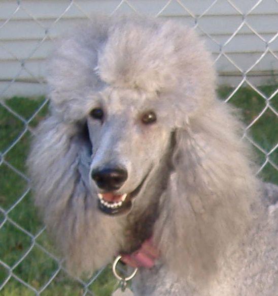 Grey Standard Poodle Standard Poodle Poodle Puppy Poodle Dog