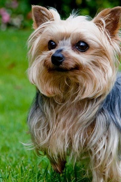 Yorkshire Terrier Dog Names - Wag  The Cutest Thing On -2973