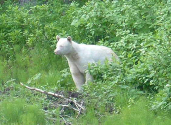 Black Bear   A-Z List of 125 Rare Albino Animals [Pics] #albinoanimals