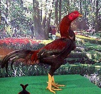 Ciri Ayam Pakhoy Yang Bagus Dan Asli Ayam Juara Asli Ayam Juara