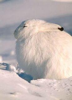 رحلة مصورة إلى القارة المتجمدة Arctic Hare Animals Beautiful Animals