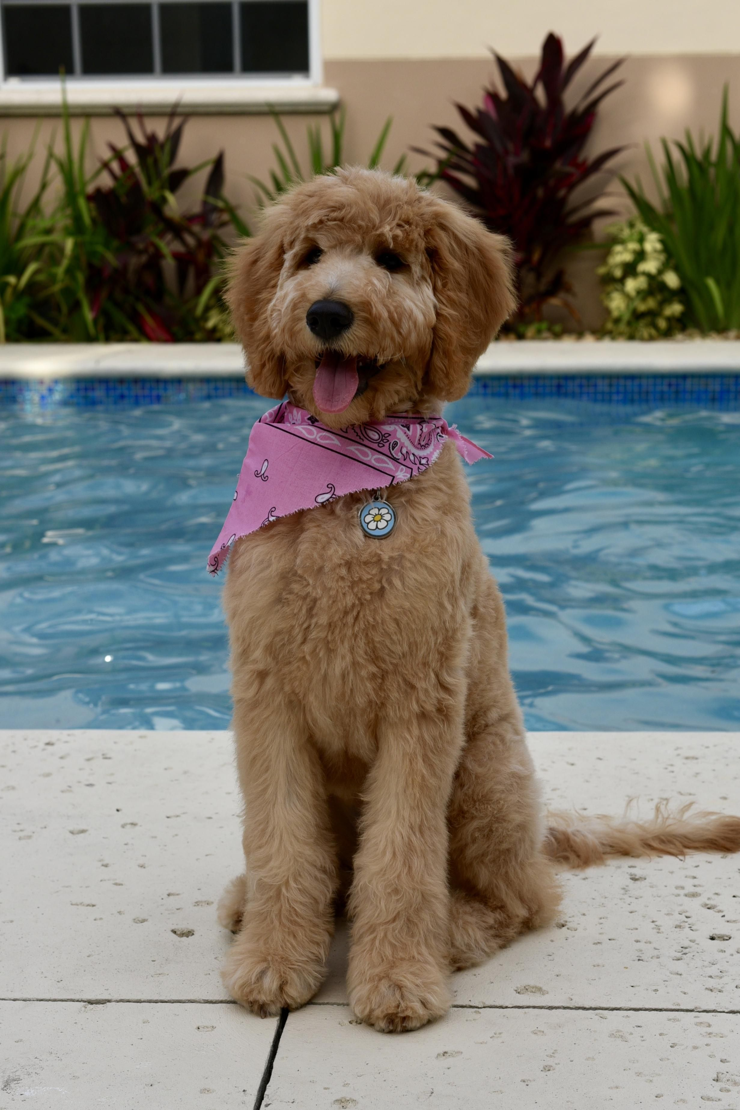 Our Doodle Daisy got her first haircut today. : Goldendoodles