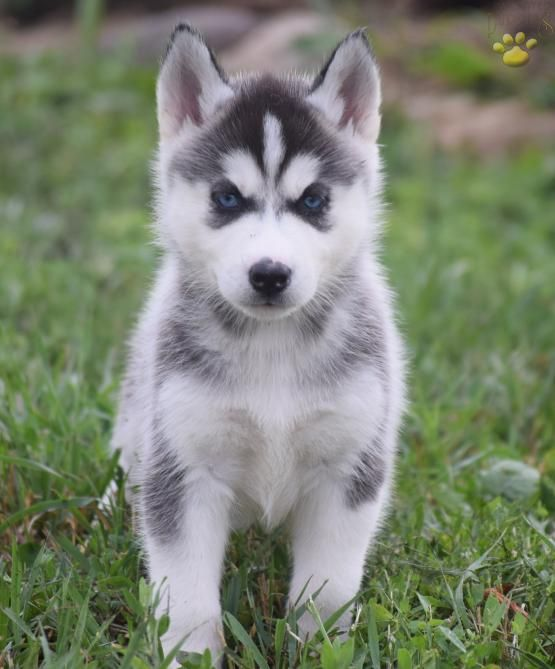 Sandy Siberian Husky Puppy For Sale In Allenwood Pa Siberian