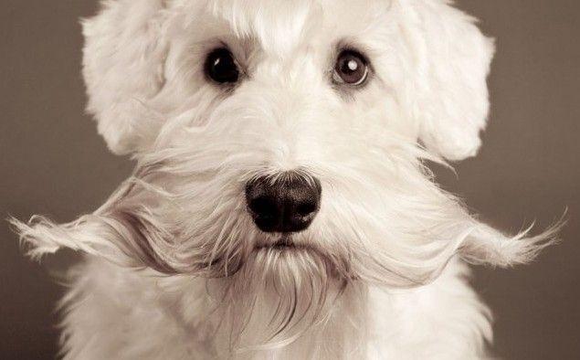 Happy Movember Sealyham Terrier Puppy Cuddles Dog Photography