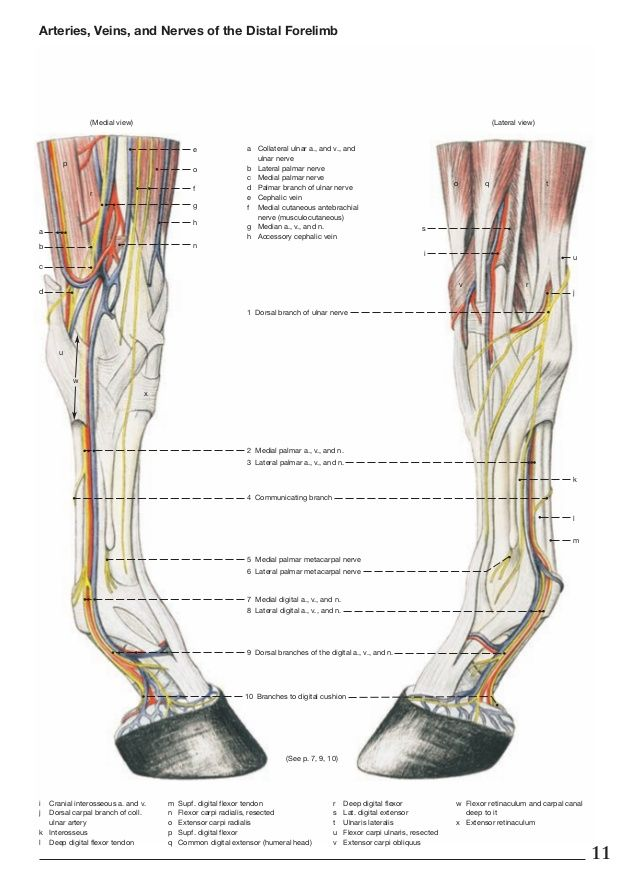 Arteries Veins And Nerves Of The Horse Distal Forelimb Anatomy