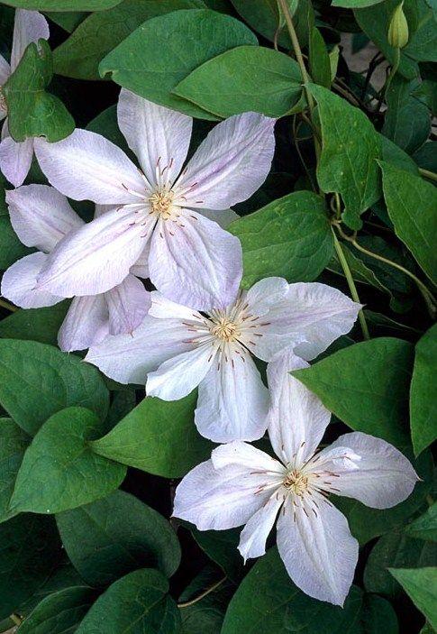 Clematis \'Jackmanii Alba\'   Flowers   Pinterest