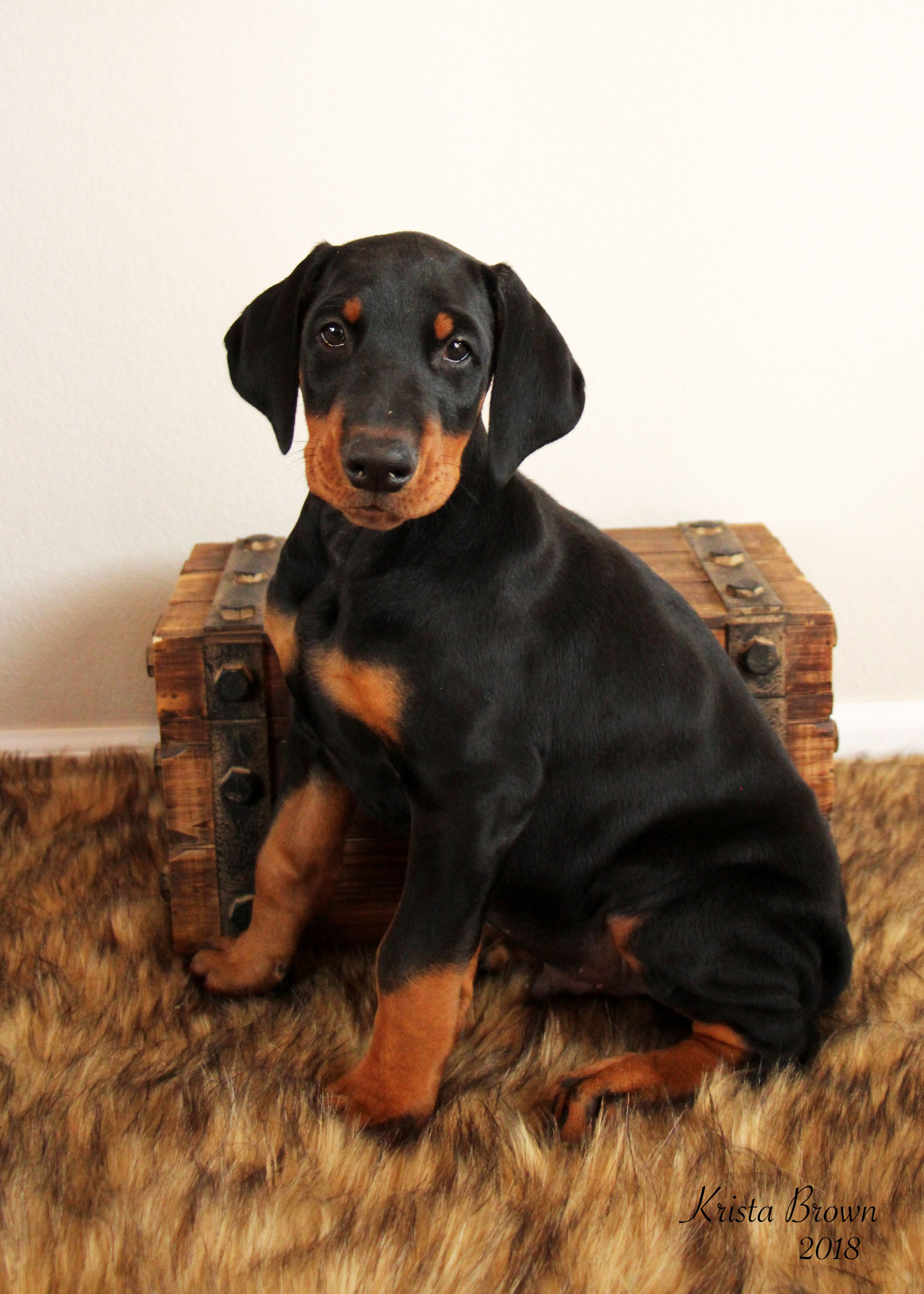 Doberman Pinscher Puppy 8 Weeks Old Doberman Pinscher Puppy