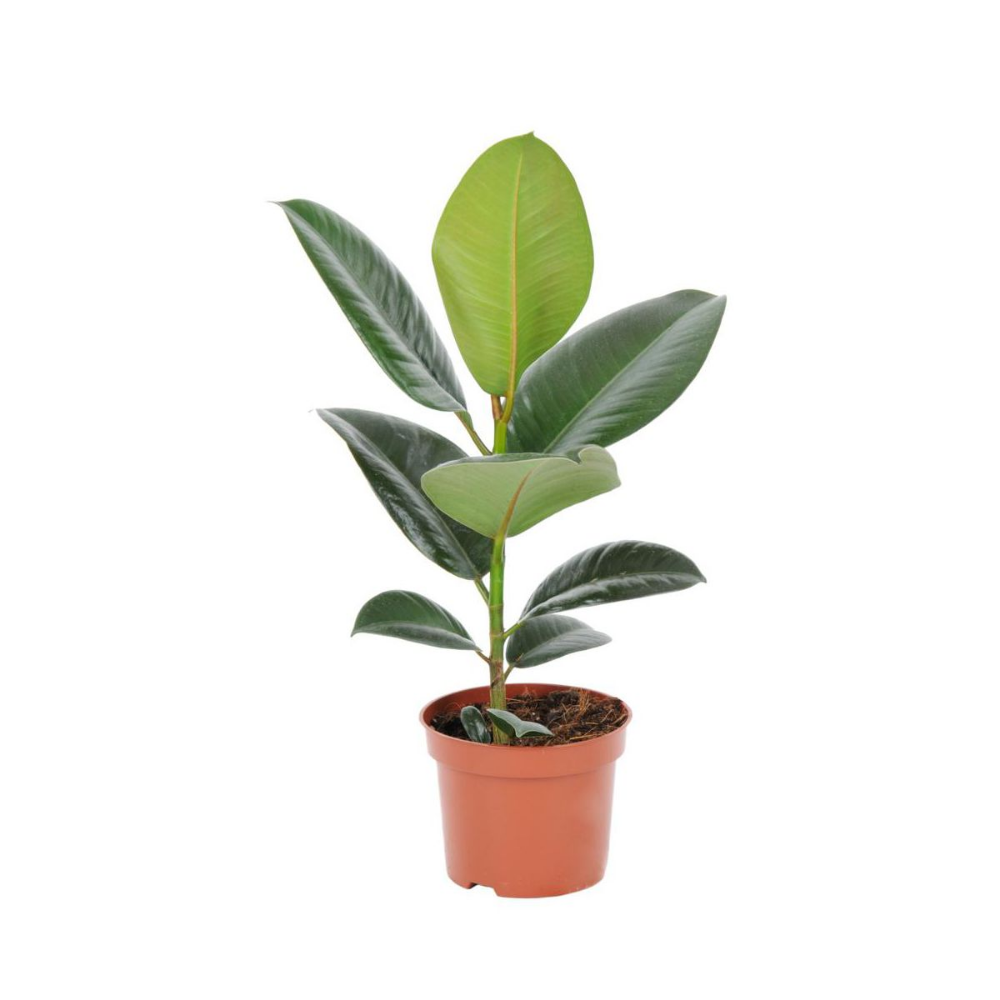 Figowiec Sprezysty Mix 35 Cm Kwiaty Doniczkowe W Atrakcyjnej Cenie W Sklepach Leroy Merlin Plant Leaves Plants 35th