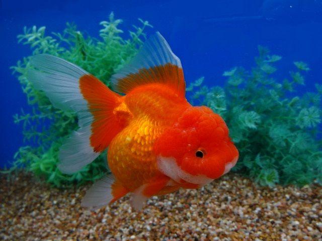 Auction Items Listing Goldfish Goldfish Tank Fish Pet