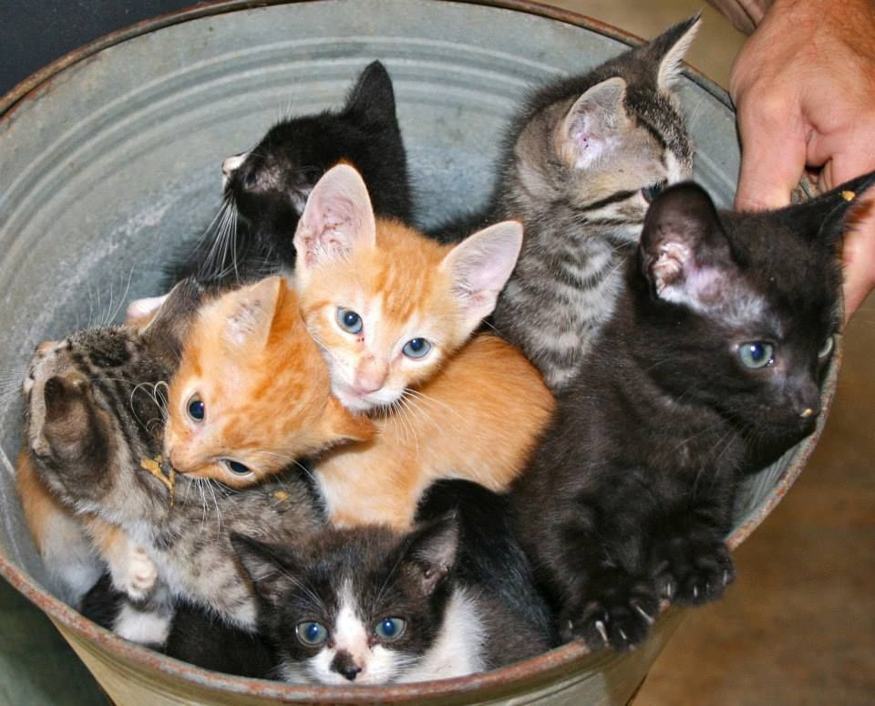 A Variety Pack of kittens, nine 8 week old kittens in a