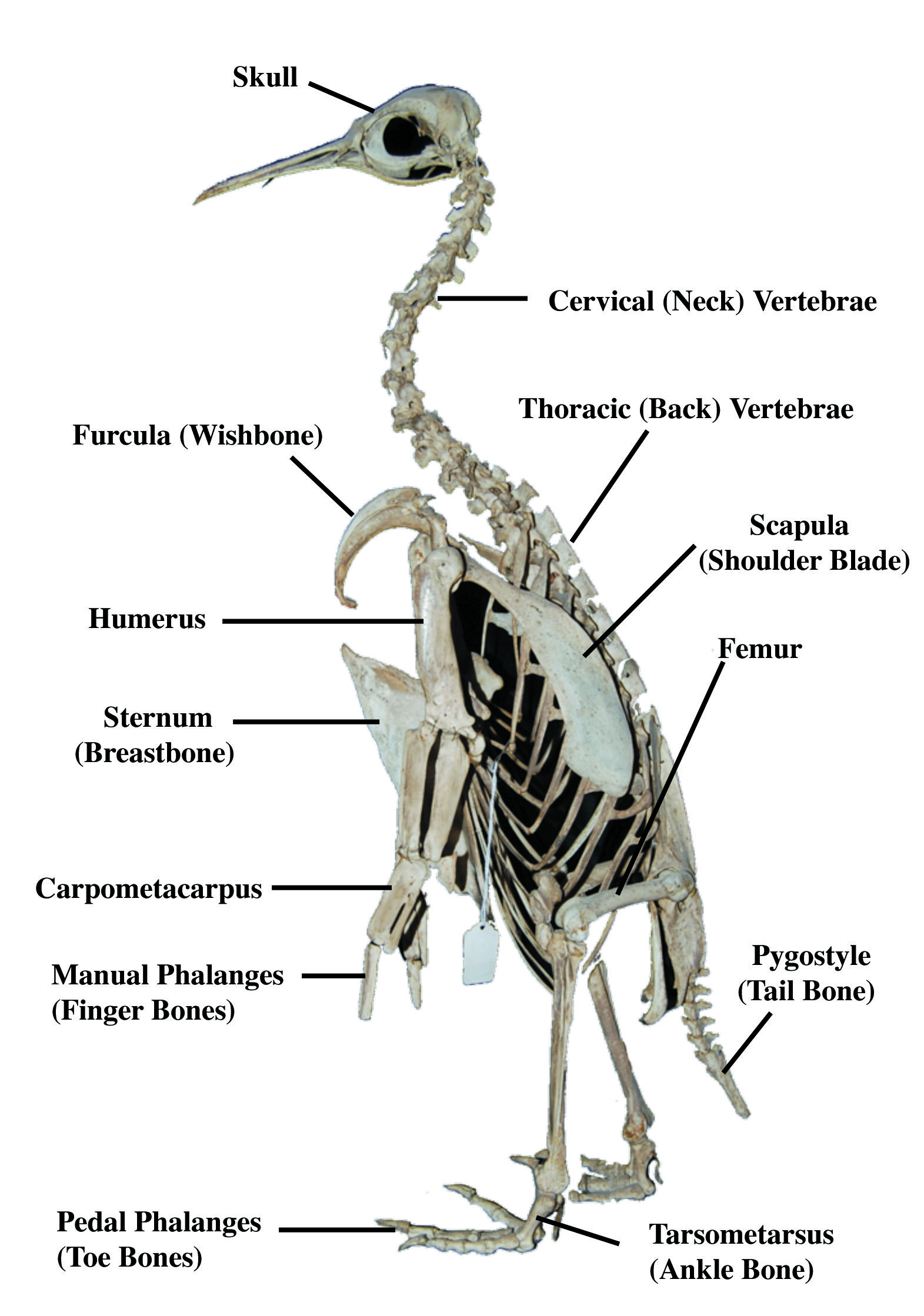 bird skeleton | Animal Anatomy | Pinterest | Skeletons, Anatomy and ...