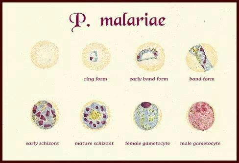 Malaria Parasie Medical Laboratory Technician Medical Laboratory Plasmodium