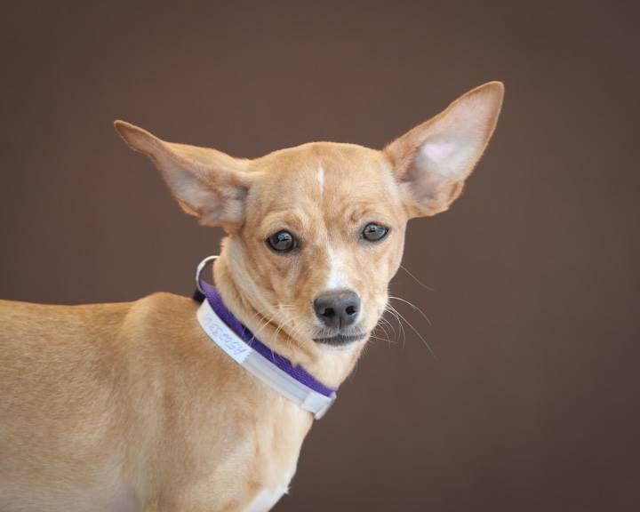 Chi Corgi Dog For Adoption In Pasadena Ca Adn 440040 On