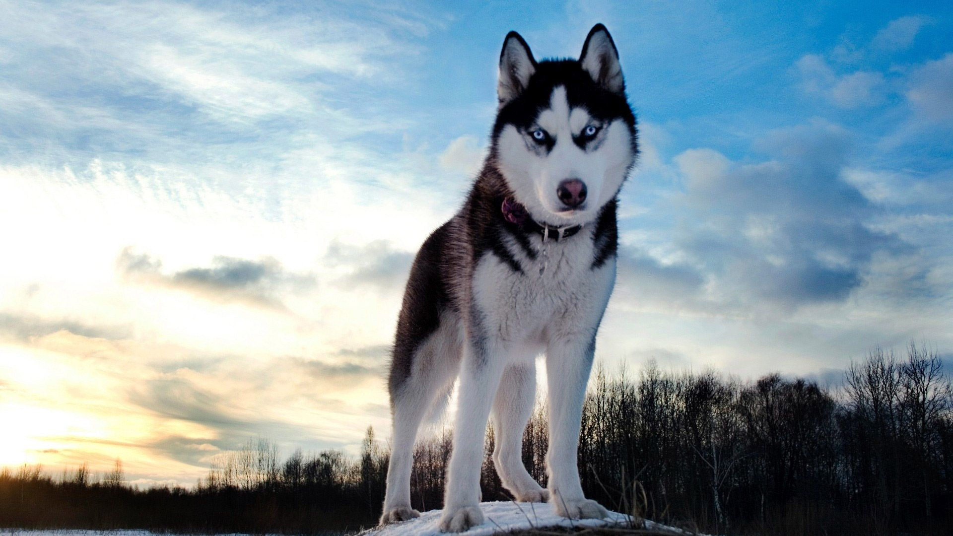 Wild Animals Wallpaper Hd Siberian Husky Husky Dogs Dogs