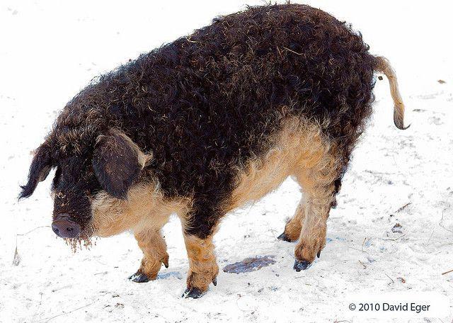 Mangalitsa Pigs for Sale in Michigan, USA | The Mangalitsa ...