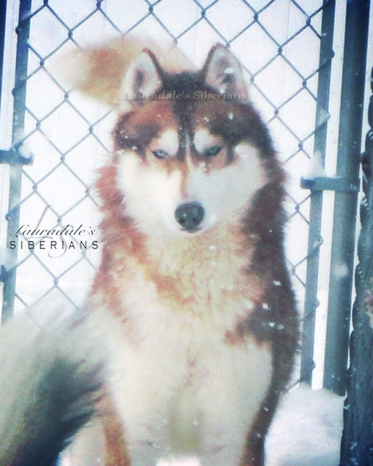 Red White Blue Eyed Siberian Husky Male Token Playing In The