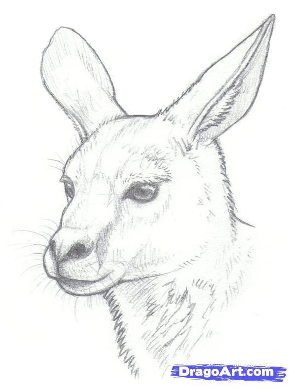 Kangaroo drawing outline how to draw kangaroos step 8 - Dessiner un kangourou ...
