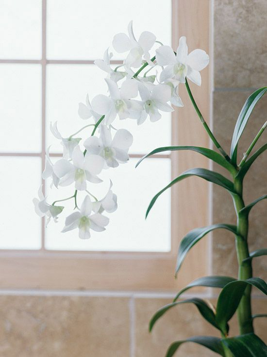 Dendrobium Flowers Often Seen At Florists In Bouquets Offer Long Lasting Blooms In A Wonderful Arra Growing Orchids Dendrobium Orchids Growing Plants Indoors