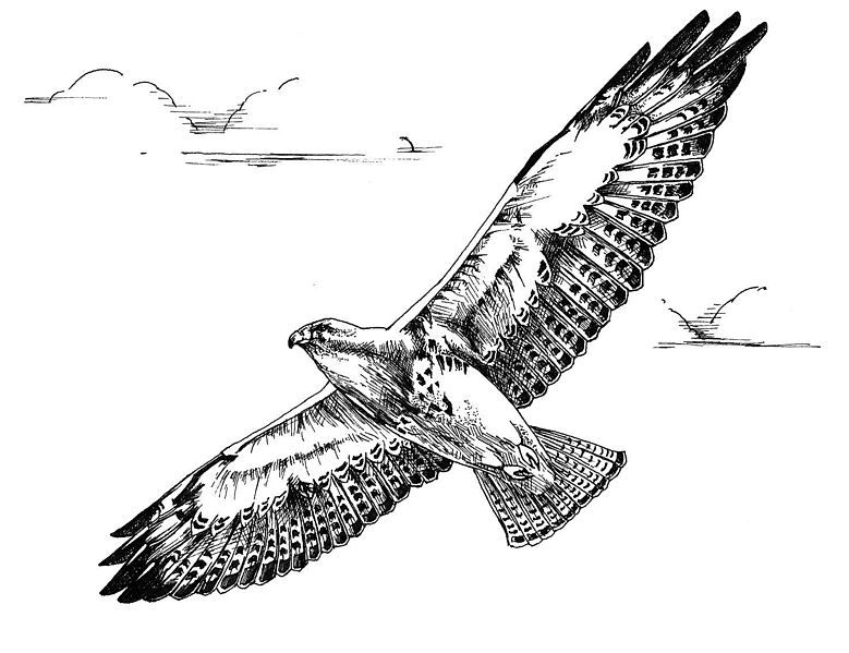 Bird Line Drawing Tattoo : File black and white line art drawing of swainson hawk