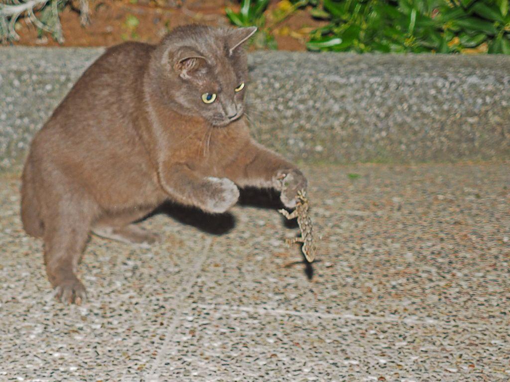 Phoebe de caza