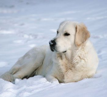 My Favorite Breed English Cream Golden Retriever White Golden