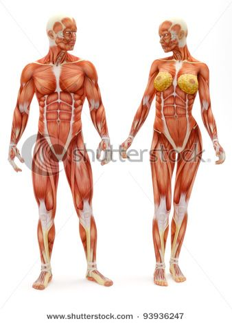 stock photo : male and female musculoskeletal system isolated on a, Muscles