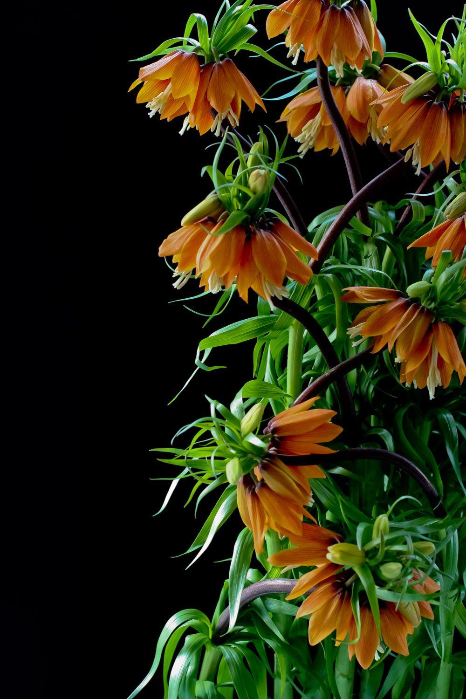 Fritillaria imperialis fritillaria pvililled pinterest fritillaria imperialis allium flowersbulb flowersbeautiful dhlflorist Image collections