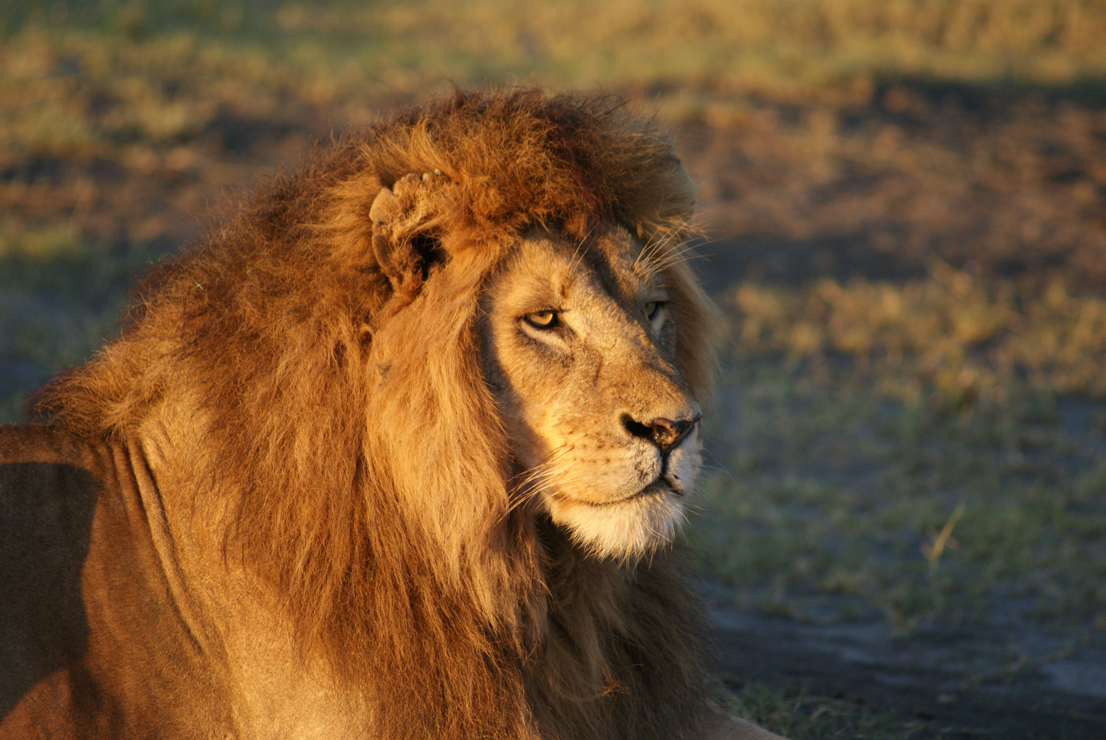 Lion S Don T Lose Sleep Over The Opinion Of Sheep It S