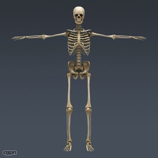 Human Skeleton Maya Rigged - 3d model - CGStudio | Anatomy