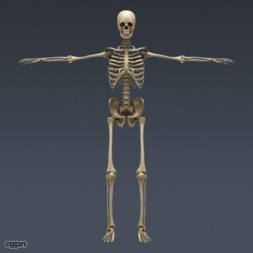 Human Skeleton Maya Rigged - 3d model - CGStudio | Anatomy ...