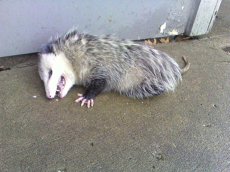 POSSUMS! Scary animals, Opossum, Possum