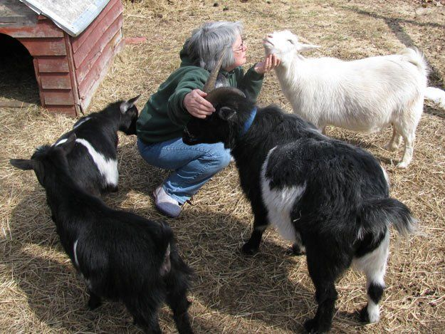 Understanding Animal Behaviors On and Off The Farm   Goat ...