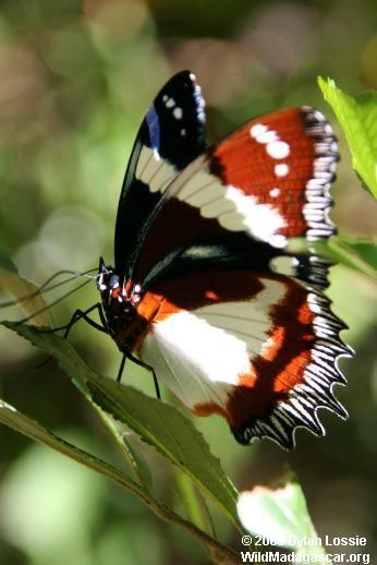 Madagascar Butterfly 蝶 虫 生き物
