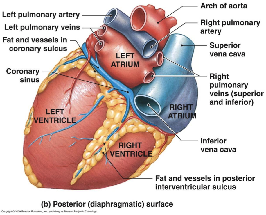 Posterior heart surface | Heart Anatomy | Pinterest | Cardiology