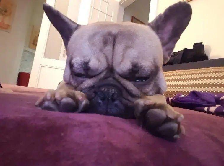 14 French Bulldogs Sleeping In Totally Ridiculous Positions Dog