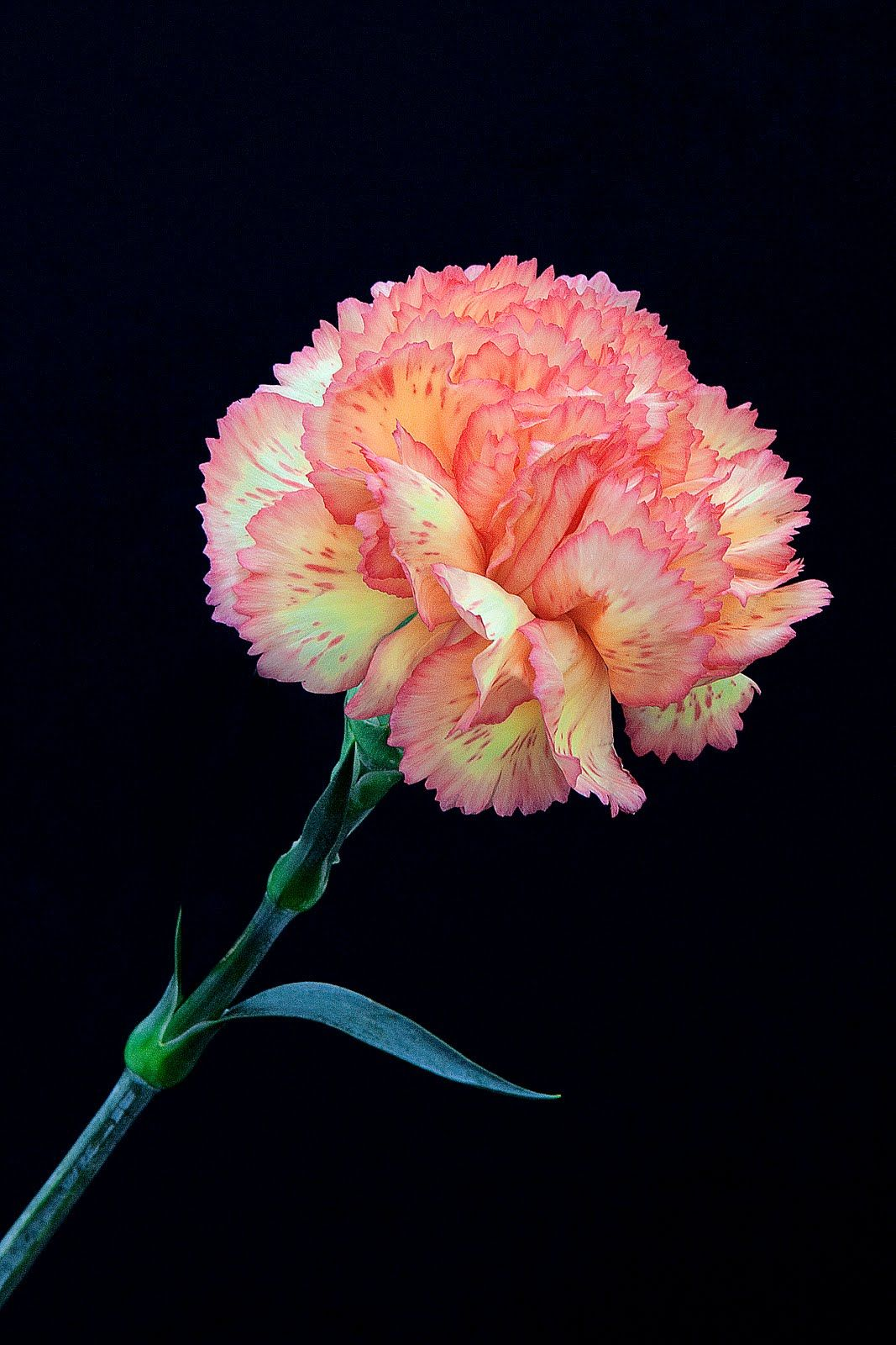 6 Packs Carnation Flower Parts Siro Craft And Mangelsen S Large Silky Carnations In 2020 Carnation Flower Parts Of A Flower Crafts