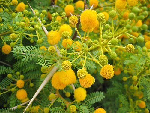 Acacia Karroo South Africa Flowering Trees Ornamental Trees Acacia