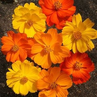 Image result for orange and yellow cosmos flower family tattoo image result for orange and yellow cosmos flower mightylinksfo