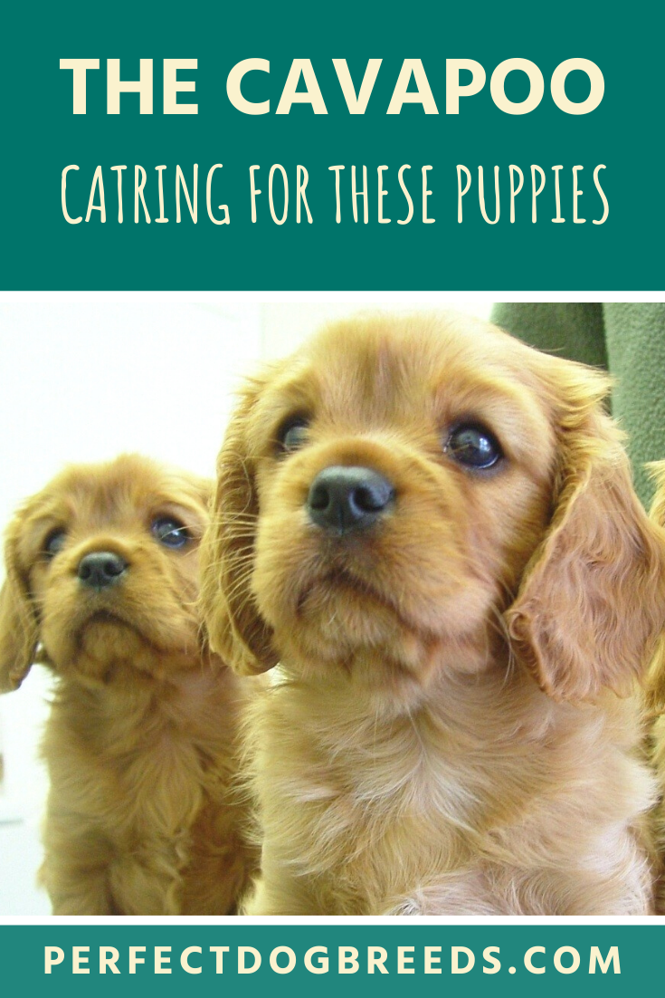 Cavapoo Puppies In 2020 Cavapoo Cavapoo Puppies Cavapoo Dogs