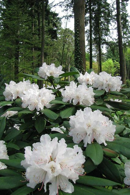 Rhododendron Many Colors Ruby Pink Purple Peachy Orange