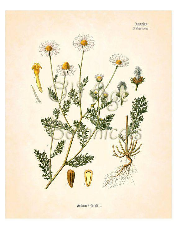 KOHLER Botanical Print 8x10 Mayweed Chamomile Vintage Art Plate Bushy Annual Herb White Yellow Flowe
