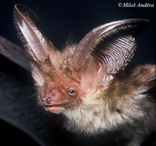 Brown's Big-eared Bat