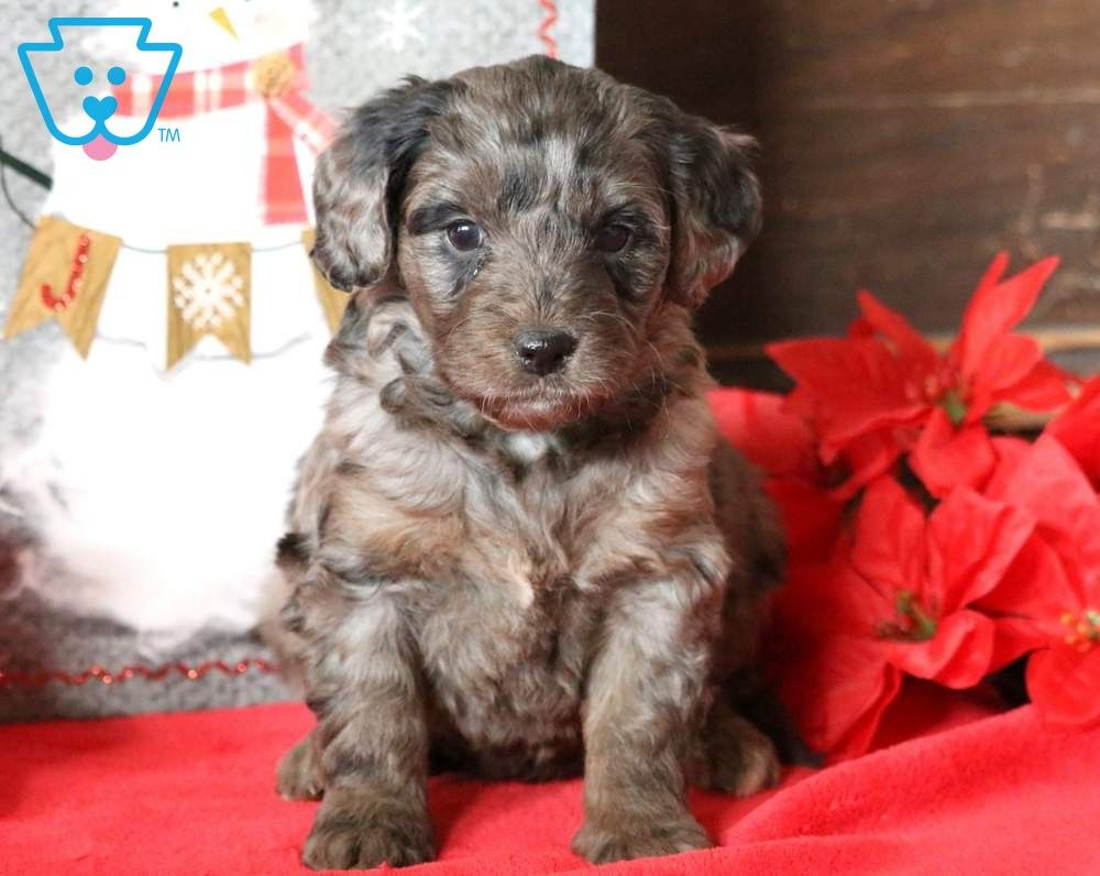 Serenity Goldendoodle Miniature Puppy For Sale Keystone Puppies Miniature Puppies Goldendoodle Miniature Puppies