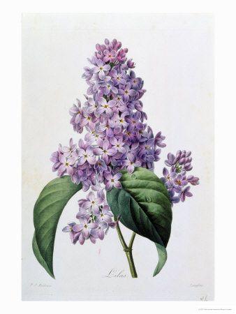 Lilacs Giclee Print By Pierre Joseph Redoute At Art Com Flower Prints Art Flower Art Botanical Prints