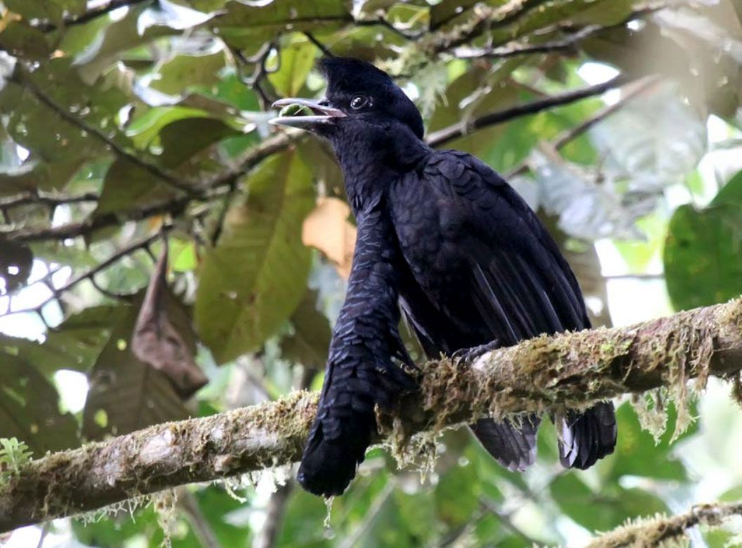 The Long Wattled Umbrellabird Cephalopterus Penduliger Is A Rare To Uncommon Resident Of Humid Foothill And Lowland Forests Of The Pacific Slope Of The Andes