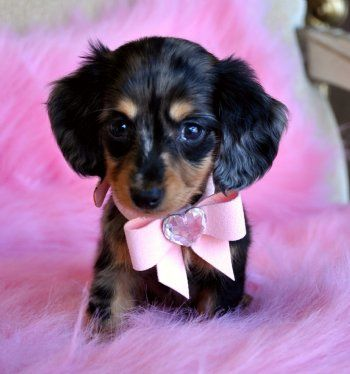 Tiny Mini Dachshund Puppy Adorable Dapple Princess Sold Found A