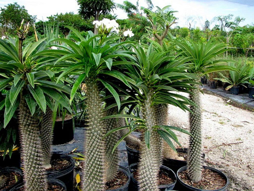 Pachypodium lamerei madagascar palm club foot is a semi for Plante 150 maladies madagascar