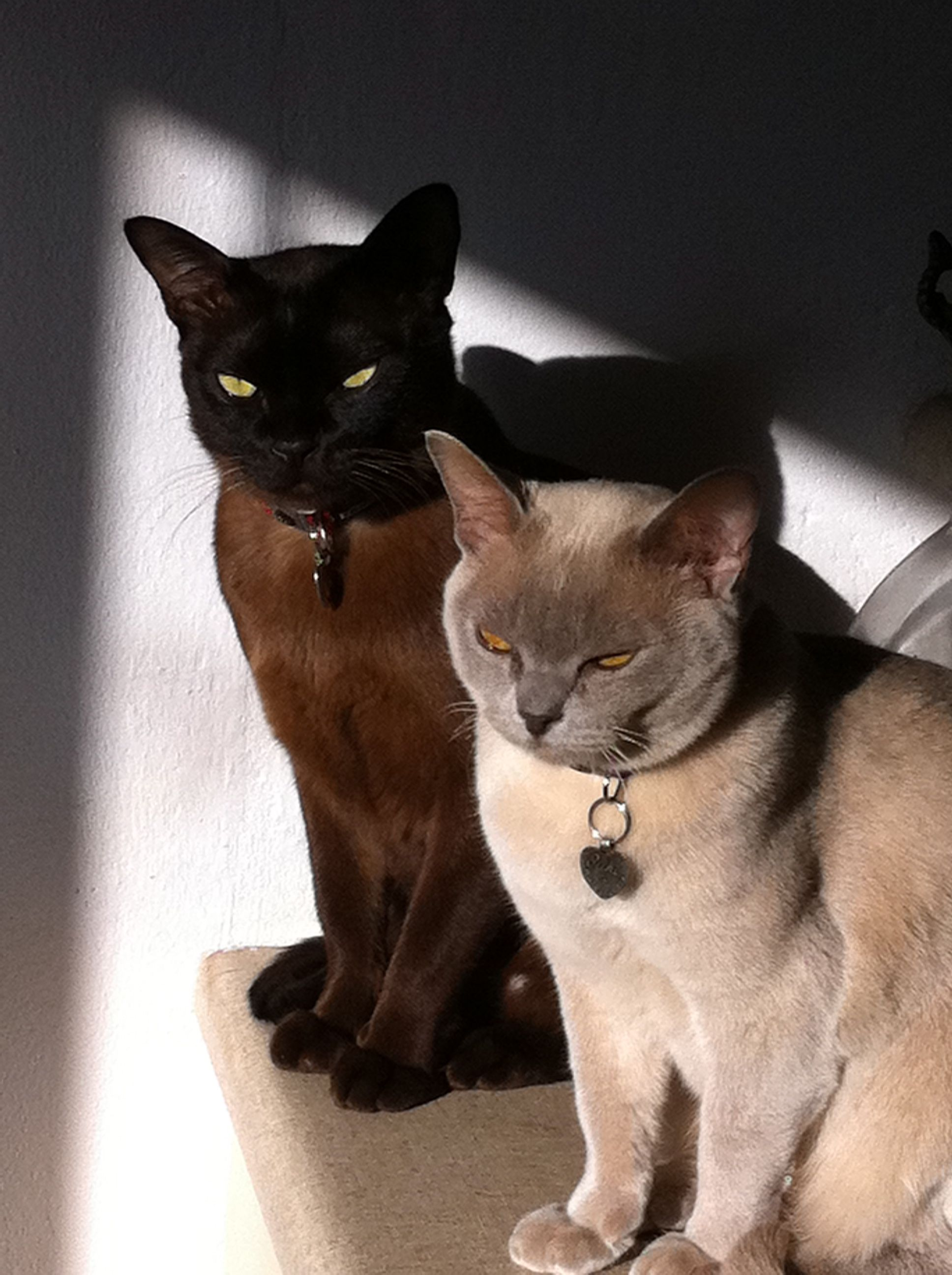 Burmese cats Dr Jackie Chan and Miss Kimsuki Khan