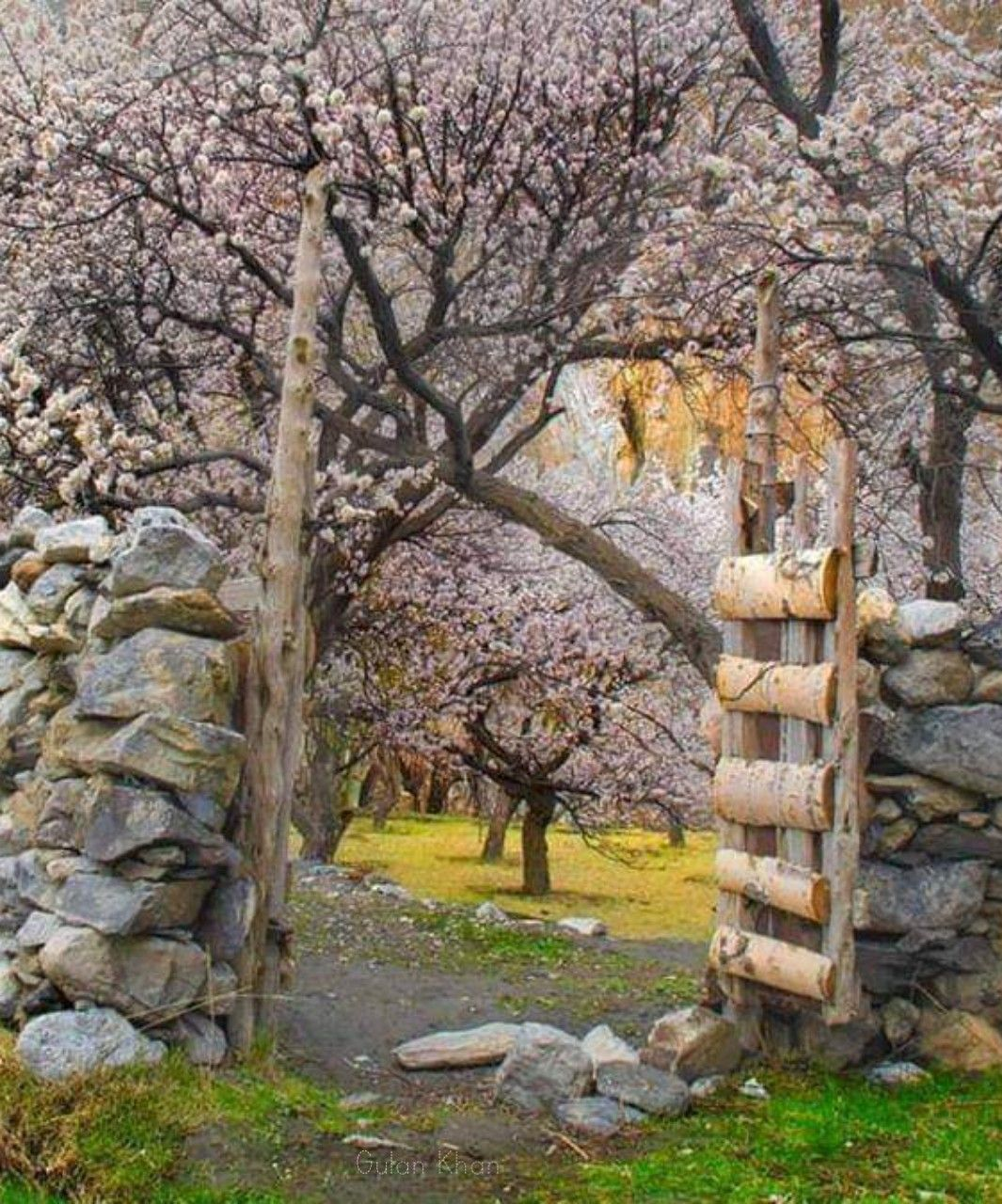 Pakistan Very Nice Captured The Beauty Of Hunza Valley Fantastic Cherry Blossom Trees At Gilgit Baltistan Pakistan M Blossom Trees Cherry Blossom Tree Tree